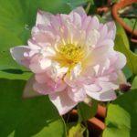 Little Lotus Seat 13