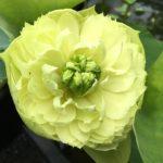 Spring in Peach Garden Lotus