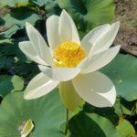 Yellow Bird Lotus