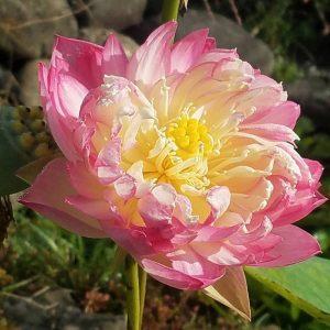 New Lotus Seedling 2017
