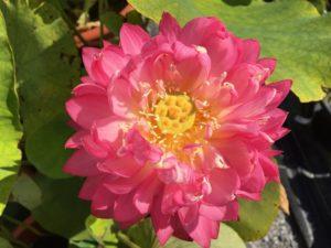 New Lotus Seedling