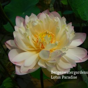 Beauty in Spring Lotus