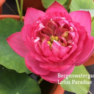 Lady Beinglei Lotus
