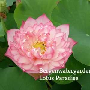 New Star Lotus