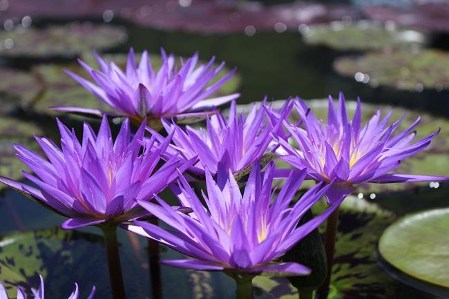 Nymphaea star of zanzibar bergen water gardens lotus for Lotus plant for sale
