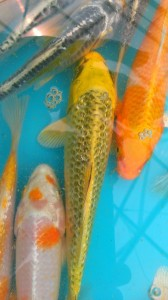 6 to 8 inch Metallic Koi