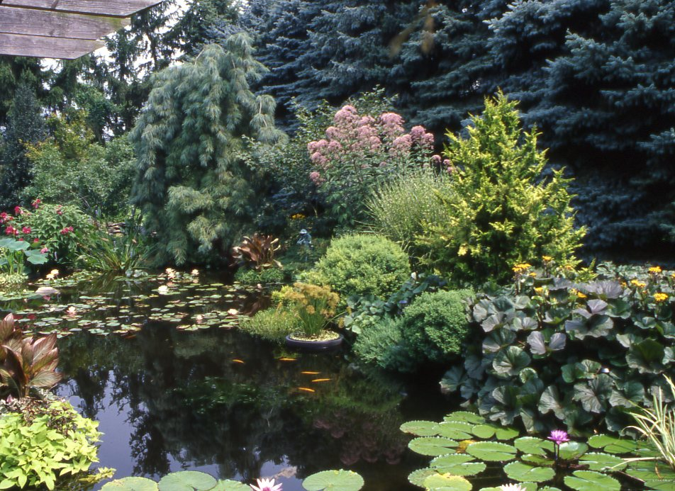 Dwarf conifers around your pond in your garden bergen for Plants around ponds