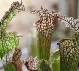 New Carnivorous Plants – June 2012