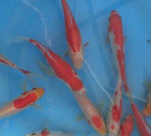 New Pond Fish May 2013