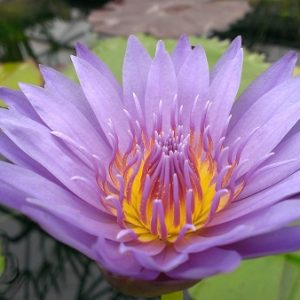 N. 'Purple Zanzibar'