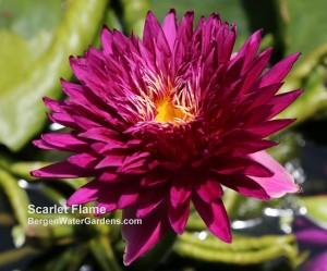 N. Scarlet Flame Waterlily Bergen Water GArdens