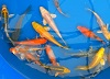 Koi for your Pond August 2014