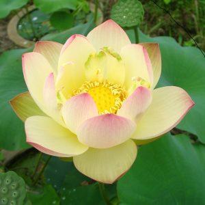 Ai Jiangnan Lotus