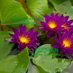 Purple Fantasy at Bergen Water Gardens