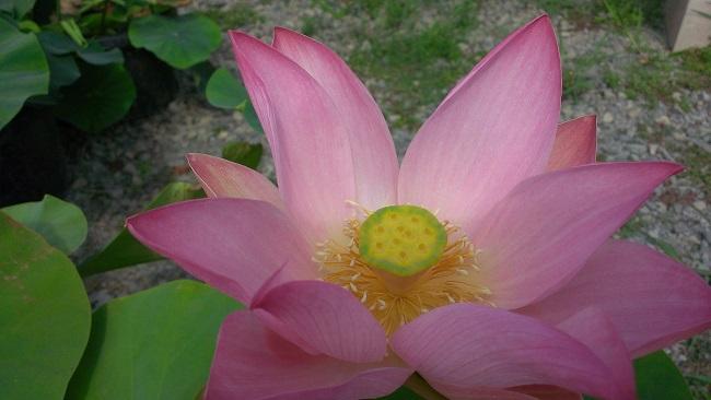 lotus plant bergen water gardens lotus paradise