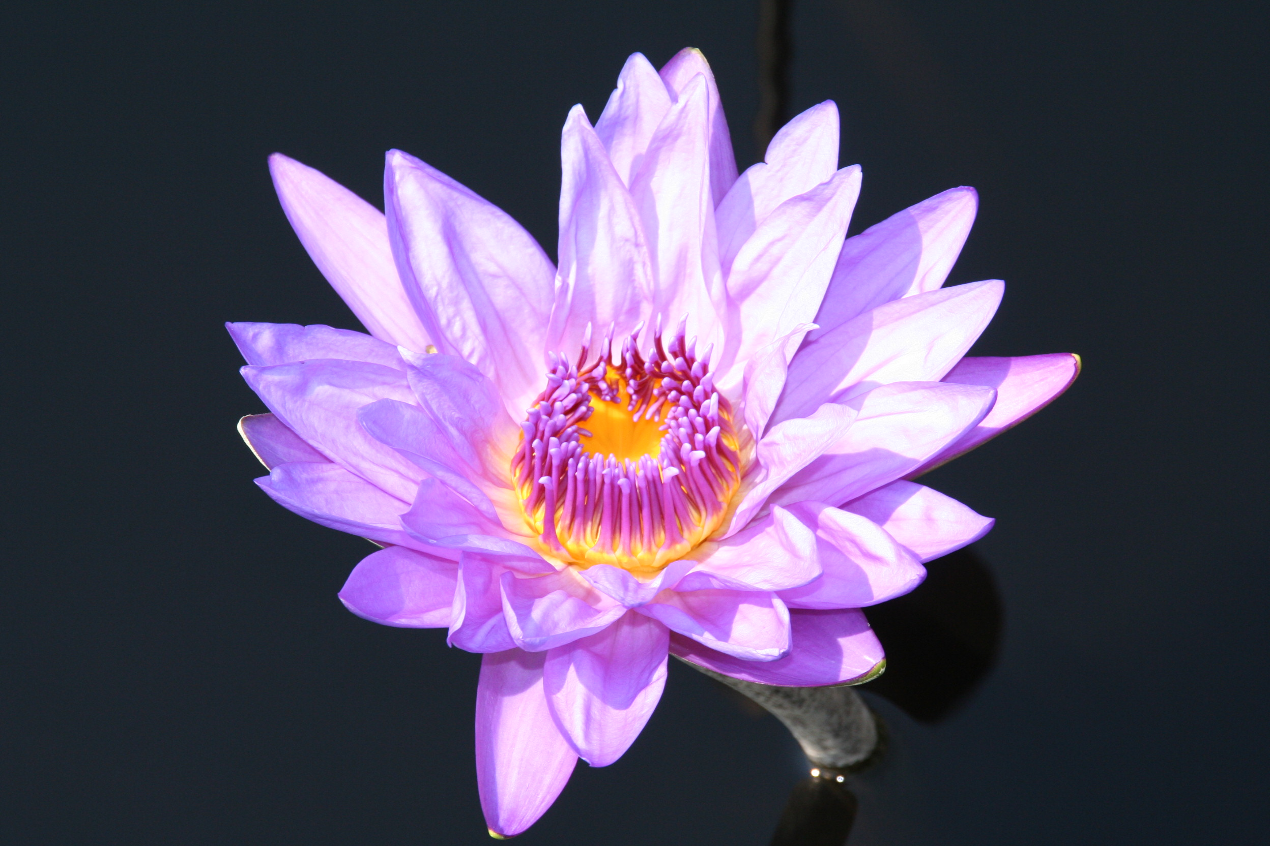 Nymphaea director george t moore bergen water gardens for Lotus plant for sale