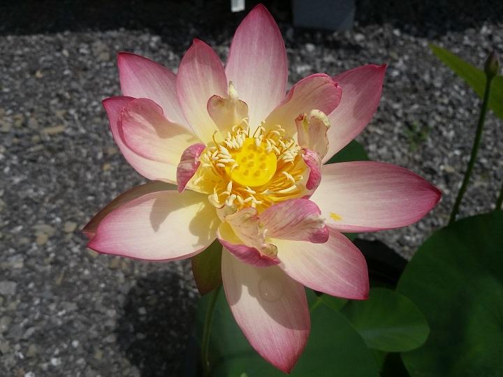 How To Pot Lotus Tubers Bergen Water Gardens Lotus Paradise