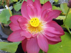 Magnificent Lotus