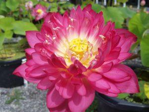 final Lotus Selections