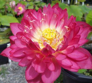 Pretty Woman Lotus