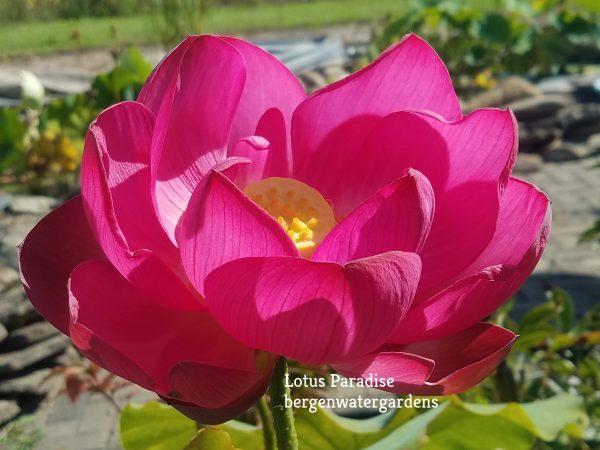 Big Red Robe Lotus
