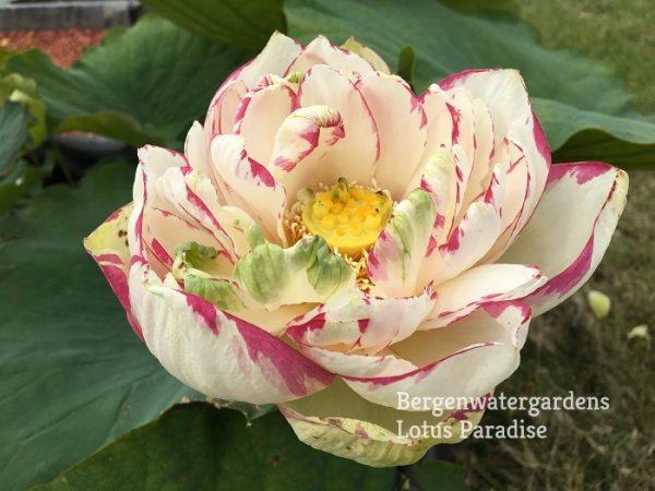 Big Versicolor Red Lotus