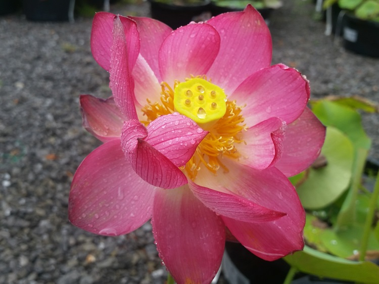 Bright sky Lotus