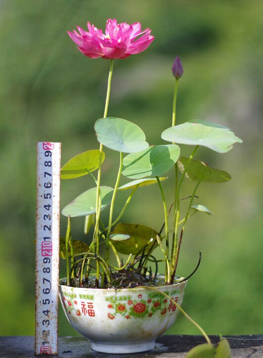 Chinese Micro Lotus