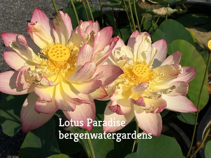 Graceful Guanyin Lotus