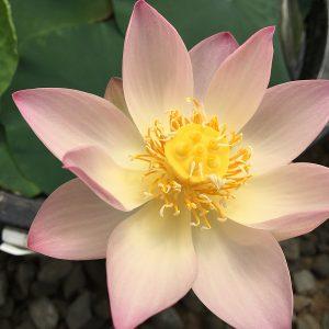 Pink Make-up No.1 Lotus