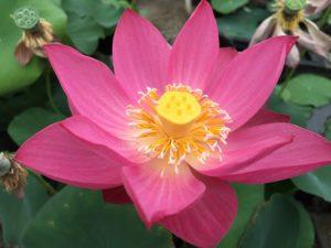 Purple Fairy No.2 Lotus