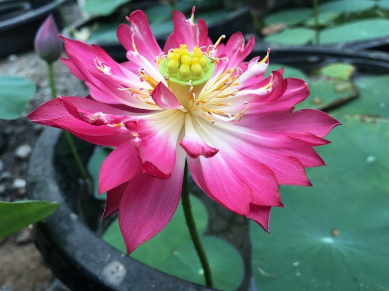 Purple Fairy No.6 Lotus