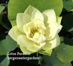 Hope Lotus
