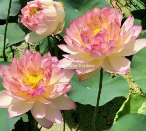 Raining Love Lotus