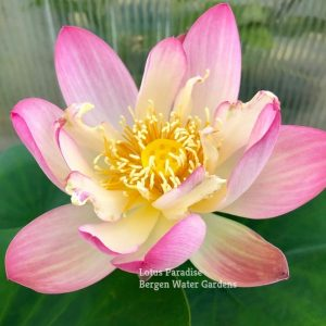 Gold with Pink Family No.3 Lotus