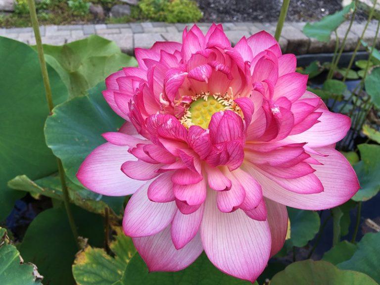 Super Excellent Lotus