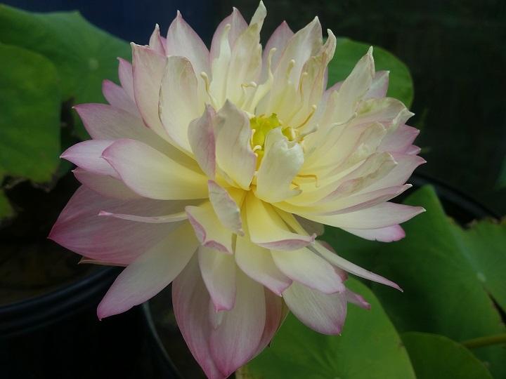 Lovebird lotus bergen water gardens lotus paradise for Lotus plant for sale