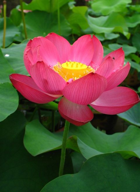 25 magnificent lotus bergen water gardens lotus paradise for Lotus plant for sale