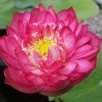 Prosperous Red lotus