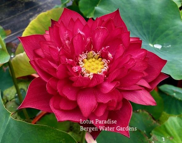 New Lanceolate Red Lotus