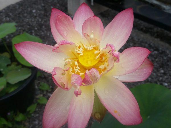sleeping beauty in red lotus