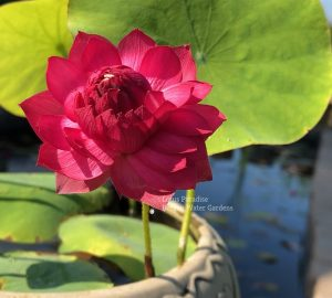 Red Kapok Lotus