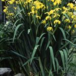 Yellow Iris - Iris Pseudacoris