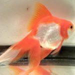 Carassius auratus Red & White Ryukin