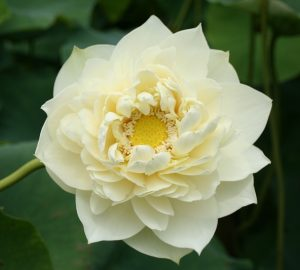 Friendship Peony Lotus