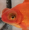 Telescope Goldfish New York State Invasive Species