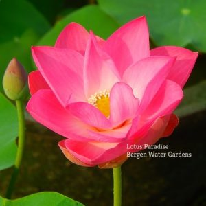 Products archive bergen water gardens lotus paradise sale 18 little red lotus mightylinksfo