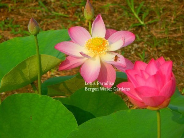 18 Little Red Lotus