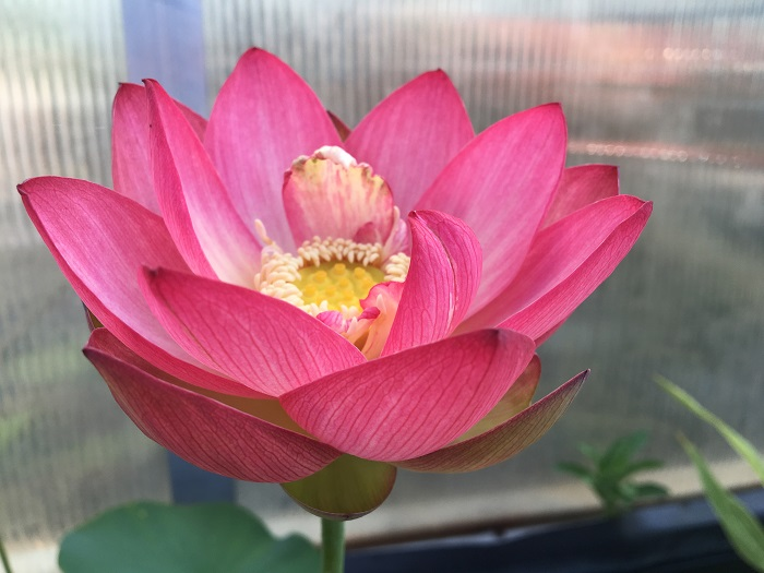 Butterfly's Love Lotus