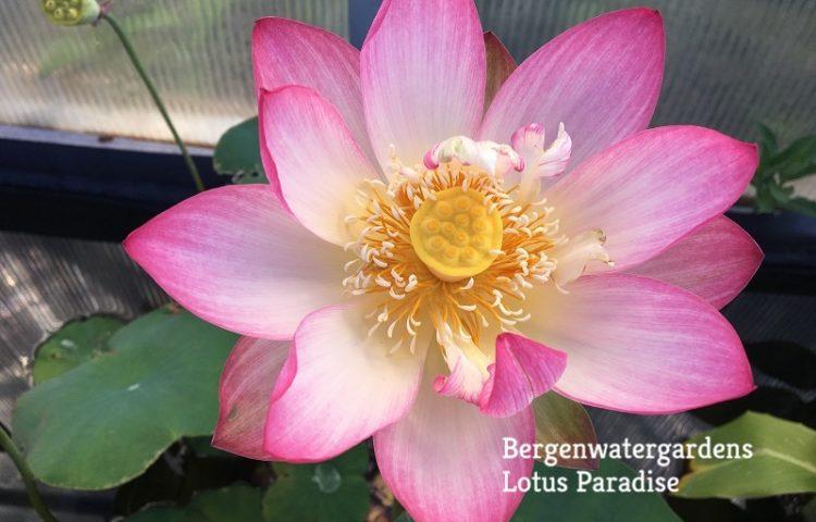 Butterfly's Love Lotus